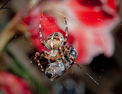 Did`nt your Mother always tell you not to play with your food? (LostnSpace2011 - Back soon) Tags: autumn garden web arachnid prey araneusdiadematus phobia gardenspider 8legs 8eyes