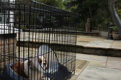 O team imprisoned for a crime.. (Bogart Cat) Tags: his after operation oadby kingcharlescavalier brownandwhitedog oadbydog