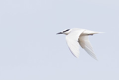 Black Naped Tern. Sterna sumatrana (okiox) Tags: ocean sea summer white black bird beautiful japan canon coast fly asia flight beak feather okinawa migratory graceful tern sterna sumatrana