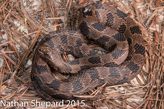 Nerodia taxispilota (Nathan Shepard) Tags: summer history water ecology canon nathan natural reptile snake united conservation evolution states harmless southeast biology forests shepard watersnake herpetology nonvenomous 2015 nerodia 70d taxispilota