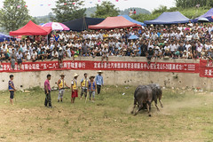 ~Watching the Bull Fight ~ (Nadav Biran) Tags: china color festival digital canon eos fight village crowd 85mm bull arena local tribe guizhou minority bullfight f40 animalabuse eflens