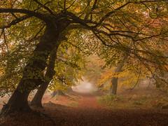 Lady's Walk (Damian_Ward) Tags: wood trees ladies lady woodland photography path nt walk chilterns nationaltrust beech hertfordshire ashridge herts thechilterns chilternhills dacorum ashridgeestate lady's ringshall damianward thunderdellwood ©damianward