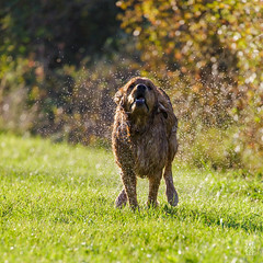 2015-11-01_Q8B3937  Sylvain Collet.jpg (sylvain.collet) Tags: autumn dog chien france nature goldenretriever automne golden retriever sur marne vairessurmarne vaires jipeg