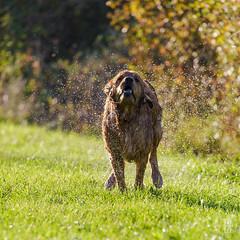 2015-11-01_Q8B3937 © Sylvain Collet.jpg (sylvain.collet) Tags: autumn dog chien france nature goldenretriever automne golden retriever sur marne vairessurmarne vaires jipeg