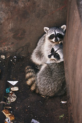 dumpster divers (EllenJo) Tags: arizona animal animals dumpster canon rodent young raccoon garbagecan masked raccoons digitalimage scavengers verdevalley clarkdale 2015 november5 stripedtail eatinggarbage ellenjo november2015 ellenjoroberts canonrebeldigitalcamera