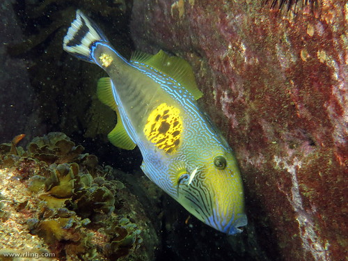 Six-spine Leatherjacket