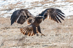 Juvenile Bald Eagle flies to the ground