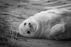 Cuteness! (m00chas) Tags: blackandwhite wildlife seal britishwildlife sealpup donnanook canon300mmf28lis canoneos70d