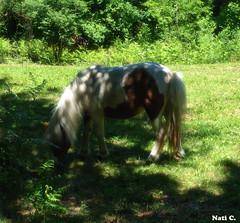Poni (Nati C.) Tags: verde animal girona nik catalunya comiendo poni lagarrotxa parcnatural