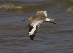 Willet (AllHarts) Tags: gulfofmexico ngc npc willet wavelandms mississippigulf naturescarousel