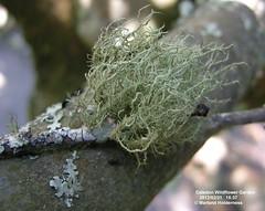 Usnea, Caledon - 2012 (marlandza) Tags: usnea corticolous lichenza fruticosethallus