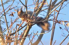 Red squirrel (GaidaFoto) Tags: redsquirrel orav tuuline hilissügis metsloom karvavahetus toiduotsingul