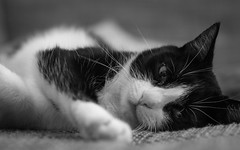 lazy cat (michael.taferner) Tags: pet white black animal cat canon out nose eos 50mm paw eyes focus bokeh background fluffy ears couch crop whisker fixed 18 focal mietz lenght 600d apsc