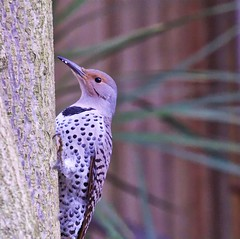Northern Flicker (f) (robinlamb1) Tags: bird nature animal outdoor backyard aldergrove northernflicker redshaftedflicker female empresstree depthoffield bokeh
