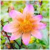Autumn watercolors (master Doratan) Tags: dahlia pink autumn watercolor photoshop flower waterlogue