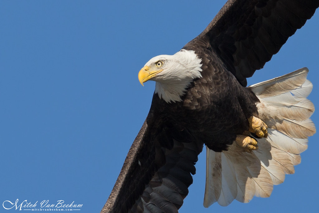 Up Close & Personal (Bald Eagle)