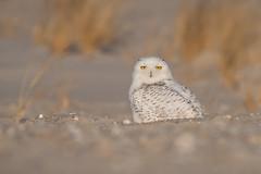 Snowy Owl (Jesse_in_CT) Tags: snowyowl nikon200500mm