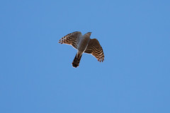 Sparviere (Accipiter nisus) - Sparrowhawk ♀ (Carla@) Tags: sparviere accipiternisus sparrowhawk birds oiseaux ornithology wildlife nature liguria italia europa mfcc canon épervierdeurope naturallywonderful