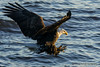The kill shot (Thomas DeHoff) Tags: bald eagle lock dam 14 mississippi river sony a580 70400