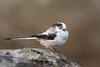 DSC_9299a (Viktor Honti) Tags: nikon d7100 tamron 70300 wildlife nature bird feeder hide aegithalos caudatus