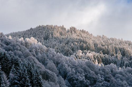 Hillside forest in winter