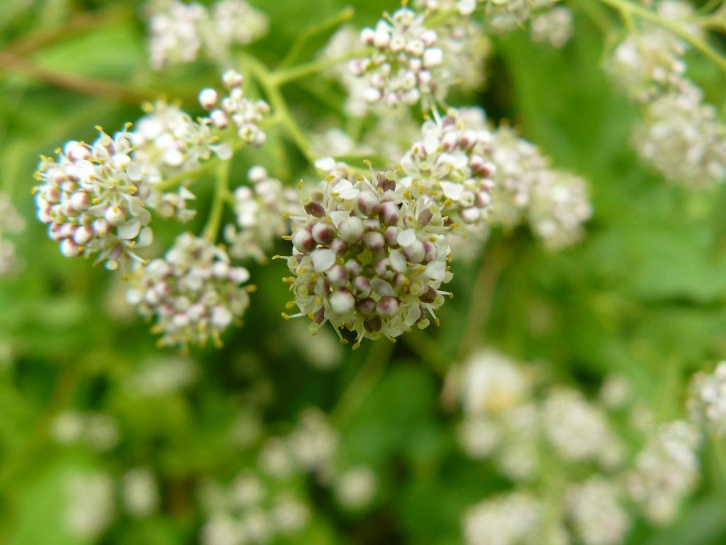 Lepidium latifolium-2