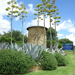 Century Plants (ShilohBlue) Tags: agave sentryplant agaveamericana centuryplant