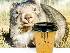 Monday morning coffee (garydlum) Tags: woden coffee canberra wombat urbanbean phillip australiancapitalterritory australia au