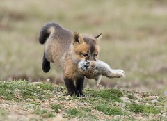 What an Epic Year! (T0nyJ0yce) Tags: redfox kit baby fox vulpesvulpes wild animals rabbit bunny pup cub babyanimals prey wildlife foxden cute adorable foxes tamron150600 canon7dmarkii explore