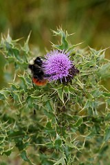Bumble bee on the spiky thistle (чертополох ) (Tatters ❀) Tags: scotland asteraceae cirsium scottishthistle spiky spearthistle bumblebee flower purpleflowers thistle