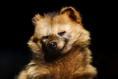 Japanese Raccoon Dog (Nogeyama Zoo) : タヌキ(野毛山動物園) (Dakiny) Tags: 2017 winter february japan kanagawa yokohama nishiward nogeyama outdoor park nogeyamapark zoo nogeyamazoo creature animal mammal dog raccoondog bokeh smile nikon d7000 sigma apo 70200mm f28 ex hsm apo70200mmf28dexhsm sigmaapo70200mmf28dexhsm nikonclubit