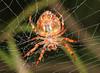 Orb Weaver spider (Jenny Thynne) Tags: spider invertebrate brisbane queensland australia nature araneae gardenorbweaver eriophoratransmarina