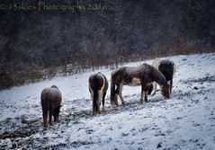 Through Hardship (13skies) Tags: hardship thursday singleshothdr topaz filters snow horses snowing eating farm stables cold hill group winter