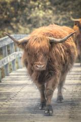Crossing the bridge (a3aanw) Tags: highlandcow nikon schotsehooglander d800 200500mm