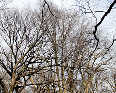 Branches and Bark Northern View Central Park-0002-February 19, 2017 (Scott Yeckes) Tags: nyc places winter bark centralpark centralparknyc leafless leaflesstrees spooky tangledbark trees branches