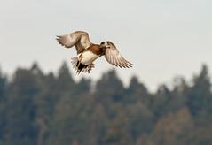 AMERICAN WIGEON (Sandy Stewart) Tags: ducks hunting duckhunting dabblingducks americanwigeons wildlife birds feathers nature birdsinflight flying birdsofnorthamerica ducksofnorthamerica sandystewartphotography sandystewart