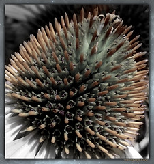 Spike (PaulO Classic. ©) Tags: ssc macro sony picmonkey hought teasel first i echinacea
