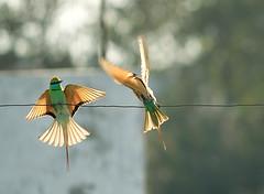 Green Bee Eater (Curlylocks) Tags: bird birds green beeeater greenbeeeater animal flying play playing india delhi newdelhi