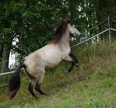 Sunny (lbtuda) Tags: horse pferd icelandic foal islnder