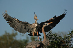Great Blue Heron 0091 (frank.kocsis1) Tags: venice nest florida pair greatblueheron frankkocsis seealbumformorephotos