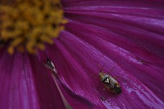 Herzwanze (Uli He - Fotofee) Tags: nikon rosen makro rosenblatt garten uli ulrike regen wein frauenmantel sommerregen ringelblume hergert prachtwinde nachdemregen nikond90 gartenparadies fotofee amtagalsderregenkam ulrikehe ulrikehergert ulihe