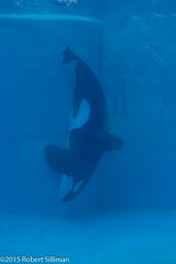 Orca-0221 (rob-the-org) Tags: iso100 sandiego noflash f80 seaworld uncropped sandiegoca 37mm 150sec 18250mm dolphinexperience topaugust2015