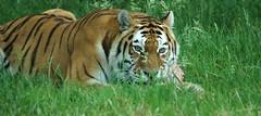 Amur Tiger (Annette Rumbelow) Tags: tiger wilson endangered siberian captive siberiantiger annette bigcats carnivore amur longleatsafaripark rumbelow httpwwwlongleatcouk