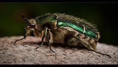 Cetonia Aurata (*TimeBeacon*) Tags: macro green bug insect beetle scarabbeetle cetoniaaurata