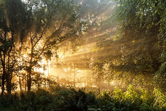 September gold (36/50) (Stuart Stevenson) Tags: uk autumn trees mist forest sunrise woodland scotland woods explosion valley rays ferns beams contrejour clydevalley stuartstevenson appicoftheweek scotlandsunburst