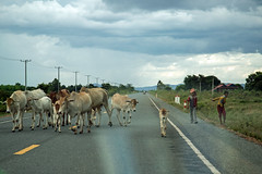 Cow on the road (Dlirante bestiole [la posie des goupils]) Tags: road cow asia cambodge cambodia kep cattle photodrive