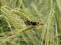 ...da sitzt mal einer auf einer Ähre (elisabeth.mcghee) Tags: ähre kleiner fuchs kleinerfuchs getreide schmetterling butterfly small tortoiseshell aglais urticae