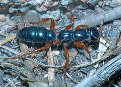 Bluebottle-ant Diamma bicolor (Simon Grove (TMAG)) Tags: australia tasmania hymenoptera insecta tiphiidae diamma clarkeisland tasmanianmuseumandartgallery december2014 tmagzoology hamishsaunderstrust