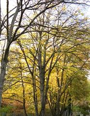 Weinet nicht, ich leb ein schönres Leben (amras_de) Tags: autumn tree automne herbst herfst træ boom arbor árbol otoño toamna albero tre puu autunno arbre árvore haust strom baum outono arbo höst fa träd tré høst syksy tardor podzim ruduo koks sügis drvo rudens drzewo sonbahar jesen jesien medis hairst arbore agaç stablo efterår zuhaitz osz crann drevo udazken autunnu autumnus autuno agüerro hierscht fómhar àrvulu