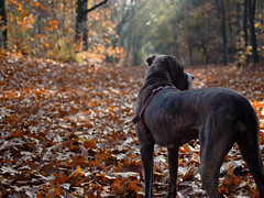 Sam (Marc Gommans) Tags: autumn dog color dutch leaves forest walking iso200 outdoor herfst thenetherlands hond hund bitch venray f2 manual bos teef kleur em1 bladeren 11600sec americanbulldogmix smcpentaxm35mmf2 marcgommans boshuizerbergen olympusomd